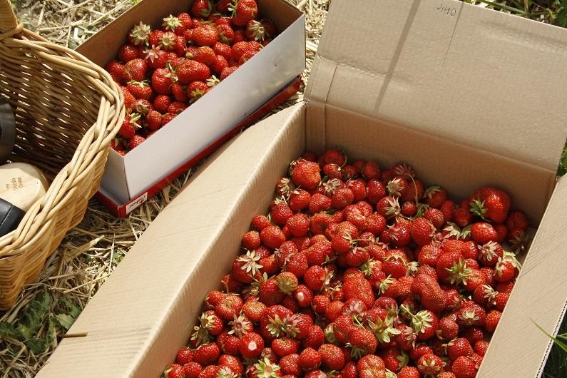 Pluk selv jordbær!